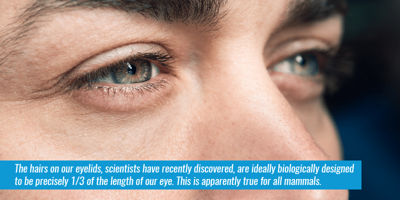 The hairs on our eyelids, scientists have recently discovered, are ideally biologically designed to be precisely ⅓ of the length of our eye. (Source). This is apparently true for all mammals.