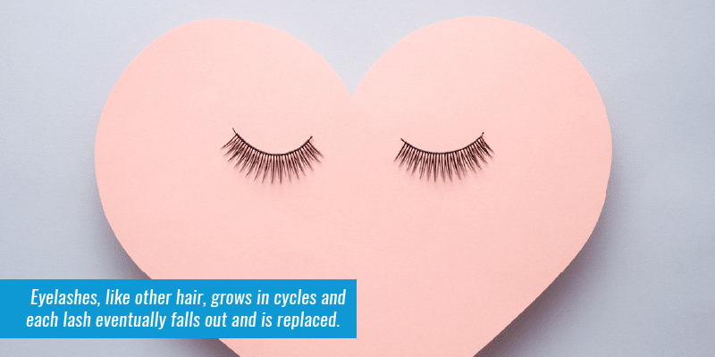 Eyelashes, like other hair, grows in cycles and each lash eventually falls out and is replaced.